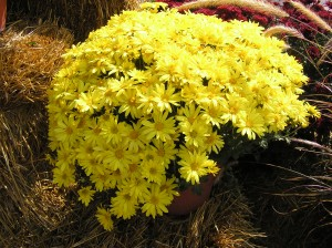 Mums available At The Farm